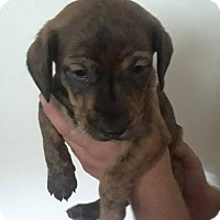 Dachshund Mix Puppy for adoption in Mission, Kansas - Volbeat