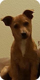 Shepherd (Unknown Type) Mix Puppy for adoption in San Antonio, Texas - A417150 Shrek