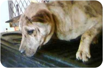 Carolina Dog Mix Puppy for adoption in Newnan, Georgia - Montana