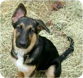 German Shepherd Dog Mix Puppy for adoption in Dripping Springs, Texas - Kelsi