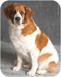 St. Bernard Dog for adoption in Chicago, Illinois - Princess*ADOPTED!*