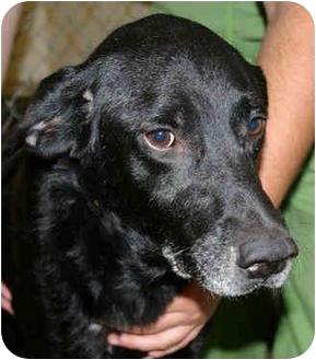 Labrador Retriever Mix Dog for adoption in Guelph, Ontario - Floyd