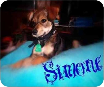 Miniature Pinscher/Chihuahua Mix Puppy for adoption in Watertown, South Dakota - Simone