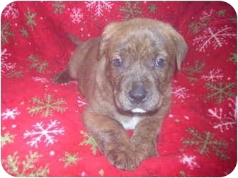 American Pit Bull Terrier Puppy for adoption in Wauseon, Ohio - pitbull puppy