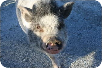 Pig (Potbellied) for adoption in Hollister, California - Wilbur