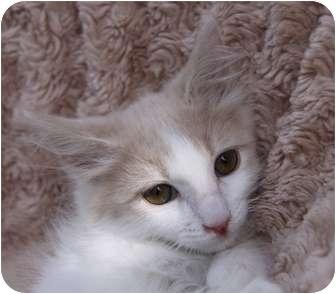 Domestic Longhair Kitten for adoption in Newport Beach, California - SONNY