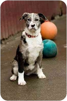 Australian Shepherd Mix Puppy for adoption in Portland, Oregon - Bailey