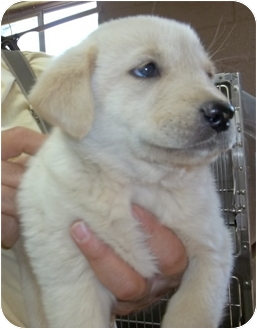 Labrador Retriever Mix Puppy for adoption in Gaffney, South Carolina - Scout