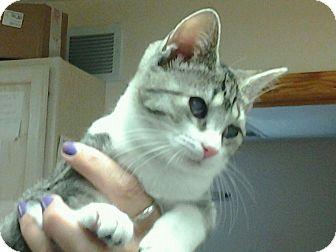 Domestic Shorthair Kitten for adoption in Medford, New Jersey - Gracie - Pennies kitten