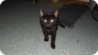 American Shorthair Cat for adoption in Stockton, Missouri - Da Boys