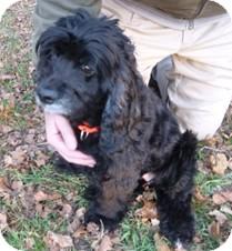 Cocker Spaniel Mix Dog for adoption in Milton, Massachusetts - Minnie Pearl