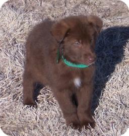 Siberian Husky Mix Dog for adoption in Larned, Kansas - Bear