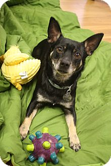 Terrier (Unknown Type, Small)/Chihuahua Mix Dog for adoption in Homewood, Alabama - Chester