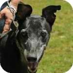 Greyhound Dog for adoption in Orange County, California - NuNu