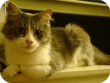 Domestic Mediumhair Cat for adoption in Chicago, Illinois - Hall