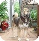 Shiba Inu Puppy for adoption in Manassas, Virginia - Shari