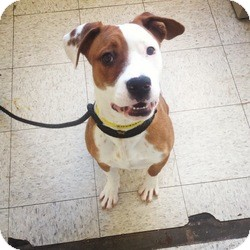 Boxer/Pit Bull Terrier Mix Dog for adoption in Toledo, Ohio - Haley