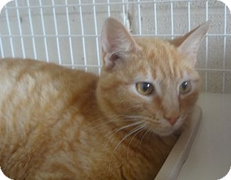 Domestic Shorthair Cat for adoption in Elizabeth City, North Carolina - Ongee