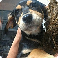 Adopt A Pet :: Cowgirl - big baby! - Phoenix, AZ