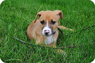 Australian Shepherd/Jack Russell Terrier Mix Puppy for adoption in Warrenville, Illinois - Anna