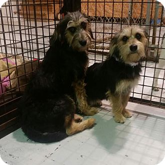 Schnauzer (Standard) Mix Dog for adoption in Owenboro, Kentucky - JACK and JILL