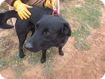 Labrador Retriever Dog for adoption in Lubbock, Texas - Ragu