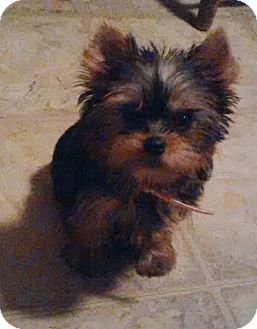 Yorkie, Yorkshire Terrier Dog for adoption in London, Ontario - Pixie