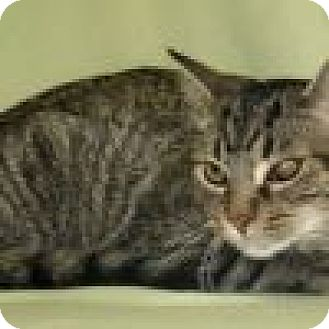 Domestic Shorthair Cat for adoption in Powell, Ohio - Alec