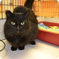 Domestic Longhair Cat for adoption in East Smithfield, Pennsylvania - Selene