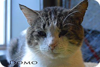 Domestic Shorthair Cat for adoption in Texarkana, Arkansas - Domo