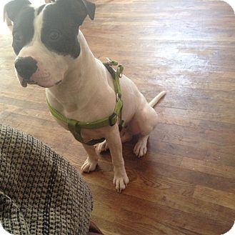 American Pit Bull Terrier Mix Dog for adoption in Brooklyn, New York - Max