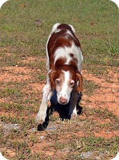 Brittany Mix Dog for adoption in Homewood, Alabama - Harrison