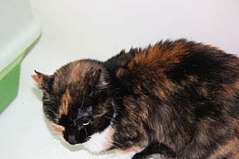Domestic Shorthair Cat for adoption in Rawlins, Wyoming - Marble
