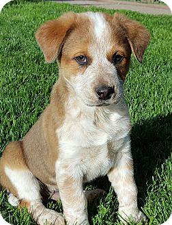Australian Shepherd/Australian Cattle Dog Mix Puppy for adoption in Bend, Oregon - Dusty
