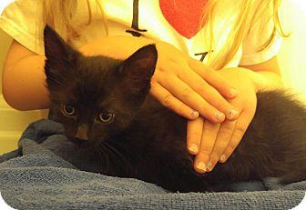 Domestic Shorthair Kitten for adoption in Midvale, Utah - Sabrina