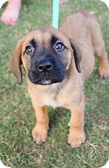 Mastiff Mix Puppy for adoption in DFW, Texas - esperanza