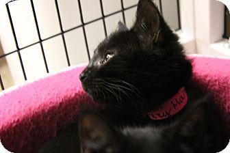 Domestic Shorthair Kitten for adoption in Medina, Ohio - Mahi