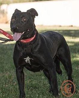 Labrador Retriever Mix Dog for adoption in Evergreen, Colorado - Jessie - courtesy listing