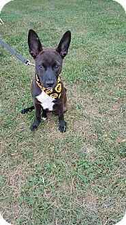 Basenji/Corgi Mix Puppy for adoption in Georgetown, Kentucky - Darcie