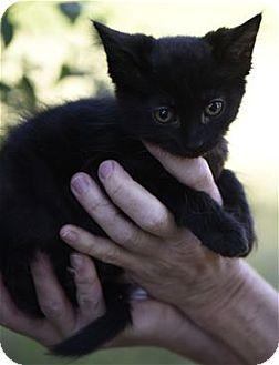 Domestic Longhair Kitten for adoption in Lincoln, California - Marius