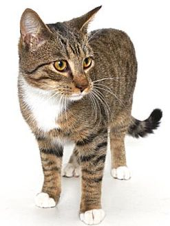 Domestic Shorthair Cat for adoption in Gloucester, Virginia - PETRIE