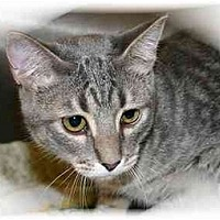 Domestic Shorthair Cat for adoption in Montgomery, Illinois - Chili