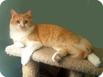 Domestic Mediumhair Cat for adoption in Smyrna, Georgia - Honeycomb