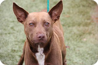 Pit Bull Terrier Mix Dog for adoption in Greensboro, North Carolina - Byron