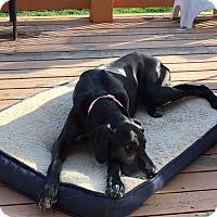 Adopt A Pet :: Roxie - St. Louis, MO