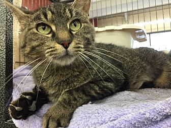 Domestic Shorthair Cat for adoption in CLEVELAND, Ohio - Bella