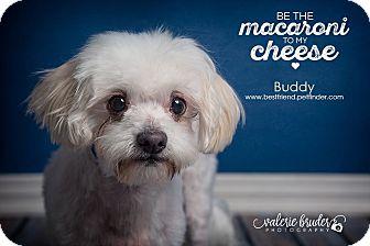 Maltese/Bichon Frise Mix Dog for adoption in Cranford, New Jersey - Buddy