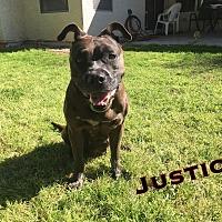 Adopt A Pet :: JUSTICE- 3YR STAFFORD SHIRE - Mesa, AZ