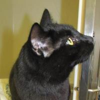 Adopt A Pet :: Piglet - Ridgely, MD