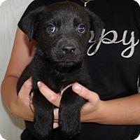 Adopt A Pet :: LA PUPS B - Corona, CA